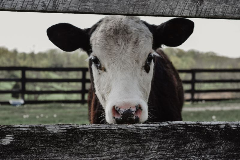CALF LOOKING THROUGH FENCE